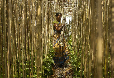 A farmer works in a betel leaf garden.